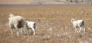 Ewe and twin Dorper cross-bred lambs in lupin stubble.