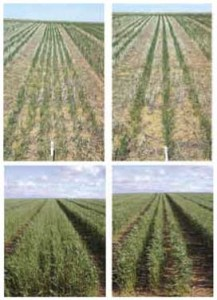 Summer 2007 row spacing wheat plots
