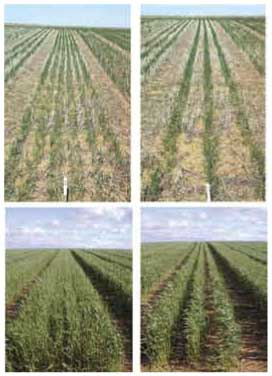 Summer 2007 row spacing wheat plots