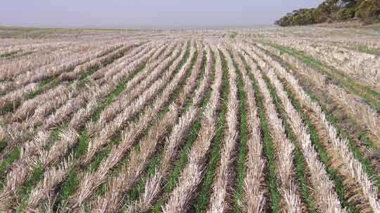 Inter-row sowing 'by eye' using tramlines and markers as guidance.